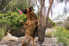 Standing Tall      23/52 (MrPuffy) Tags: germanshepherd 52weeksfordogs playing frisbee action dog outside