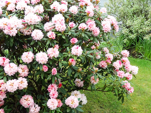Front Rhododendron (3)