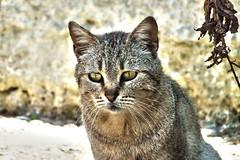 DSCF9091 (Photographer Massimo Martini) Tags: catto tigrato