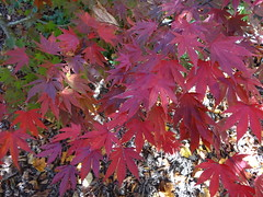 NSW Southern Highlands. Sutton Forest. In Red Cow Farm garden in the autumn.Acer palmatum. Japanese Maple. (denisbin) Tags: autumn lake garden bee foliage japanesemaple acer refelction mossvale suttonforest redcowfarm zinniaandbee