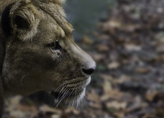 Lioness (nielsdijkstra) Tags: blue brown white black nose zoo teeth tiger lion whiskers ear stare gaze lioness