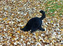 (Jean Arf) Tags: autumn dog fall leaves puppy bury play head rochester astrid hide poodle highlandpark standardpoodle