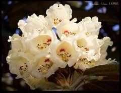 Rhododendron Flowers (zweiblumen) Tags: uk flower scotland alba rhododendron isleofarran polariser brodickcastle northayrshire eileanarainn canoneos50d zweiblumen canonspeedlite430exii