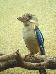 Lachender Hans (uwe_gompf_66) Tags: hans lachender zoo frankfurtmain vogel bird