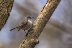 Blue-Gray Gnatcatcher (hey its k) Tags: ca ontario canada nature birds wildlife morpeth tamron bluegraygnatcatcher rondeaupark canon6d 150600mm img0429e