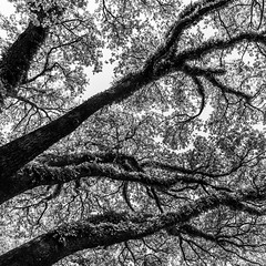 Above North Blvd 22 (Mabry Campbell) Tags: trees blackandwhite usa nature monochrome up landscape photography us photo texas photographer unitedstates image branches unitedstatesofamerica fineart houston 1600 hasselblad photograph liveoak april 24mm f80 oaktrees fineartphotography 2016 northblvd commercialphotography harriscounty liveoaktrees westuniversity sec mabrycampbell h5d50c hcd24 april222016 20160422campbellb0001268