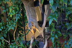 Naughty Squirrel (Blanca Rosa2008 +3,700,000 Views Thanks to All) Tags: naturaleza green nature animals squirrel squirrels wildlife canoneos60d naughtysquirrel zstincer californiassquirrels