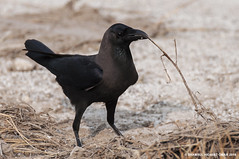 House crow (Shamsul Hidayat Omar) Tags: house bird lens photography nikon birding sigma bio os malaysia crow omar f28 dg selangor biodiversity tanjung karang corvus hidayat d90 splendens greatphotographers hsm shamsul 120300mm kepelbagaian