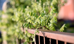 Creepers (Lala Lands) Tags: dof bokeh hff clematisvine jackmaniiclematis nikkor105mmf28 smithbotanicgarden rustyironfence happyfencefriday springafternoonlight nikond7200