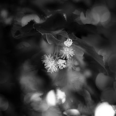 Linden Tree 001 (noahbw) Tags: flowers trees light shadow blackandwhite bw abstract blur monochrome leaves forest square blackwhite spring woods nikon dof natural bokeh branches linden depthoffield dreamy blooms dreamlike d5000 captaindanielwrightwoods noahbw