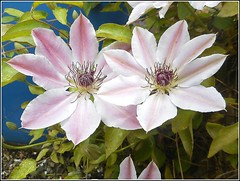 Clematis Flowers .. (** Janets Photos **) Tags: flowers flora clematis ukplants
