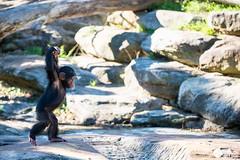 Sydney 06.2016 (de-tec-tive) Tags: photography zoo nikon chimp gorilla sydney chimpanzee tarongazoo d800 rebeccahoulden