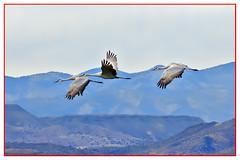 Sandhill Cranes (biggaron) Tags: nm bosquedelapache sandhillcranes gruscanadensis festivalofthecranes socorroco 20141121eos7dimg5675