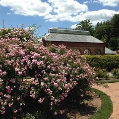 Fragrance at Biltmore (mystuart) Tags: pink flowers roses architecture clouds garden spring asheville conservatory biltmore fragrance