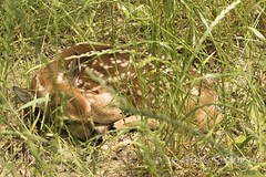 146 Ami-does Fawn I | EXPLORE (dogwood_springs_photography) Tags: animal mammal texas tx deer fawn newborn whitetaildeer
