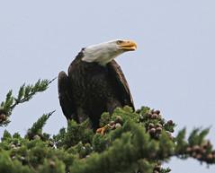 No peace for an eagle (RebelRob) Tags: birds eagle britishcolumbia baldeagle vancouverisland birdwatching haliaeetusleucocephalus birdsofprey victoriabc