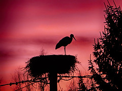 IMG_6953 sunset stork (pinktigger) Tags: stork cigüeña storch cicogne ooievaar ciconiaciconia cicogna cegonha bird nature fagagna feagne friuli italy italia oasideiquadris animal outdoor sunset nest backlight silhouette