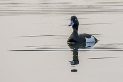 Tufted Duck (kayakwiltshire) Tags: duck lakes tufted wiltshire langford