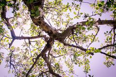 Summer breeze (will_i_be) Tags: apple tree flower blossom sun shade summer breeze