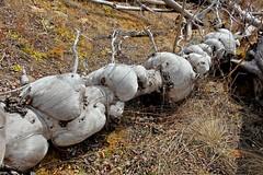 Burly Spruce, Fire-killed (MIKOFOX  Catching Up!) Tags: canada spring may yukon forestfire spruce wildfire burl burnzone xt1 foxlakefire fujifilmxt1 xf18135mmf3556rlmoiswr screwtheautotagbot mikofox