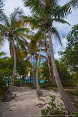 Palm trees (3scapePhotos) Tags: travel trees sea vacation beach vertical island islands sandy palm virgin beaches tropical british caribbean cay tropics bvi britishvirginislands sandycay