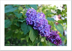 Lilas (Lourdes S.C.) Tags: flowers flores vegetacin lilas
