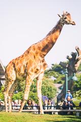 Longneck for Life (Thomas Hawk) Tags: sanfrancisco california usa america zoo unitedstates fav50 unitedstatesofamerica giraffe sanfranciscozoo fav10 fav25