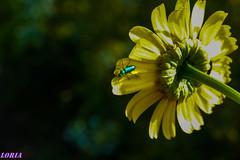 A la fuga. (loriagaon) Tags: flowers espaa plants naturaleza flores macro nature animals plantas galicia animales pontevedra loria loriagaon rx10lll sonyrx10lll sonydscrx10iii