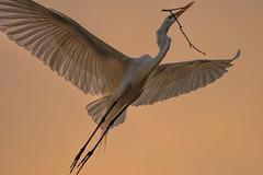Heron Nation 06.23.2016.05 (nwalthall) Tags: egrets