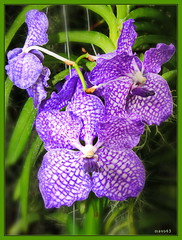 Orchidee Vanda (culhvas / Blue Magic) (Martin Volpert) Tags: plant flower fleur flor orchidee blume blte blomster virg lore blm bluete floro kvet kukka cvijet blth bluemagic is mavo43 vandaculhvas