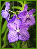 Orchidee Vanda (culhvas / Blue Magic) (Martin Volpert) Tags: plant flower fleur flor orchidee blume blüte blomster virág lore blóm bluete floro kvet kukka cvijet bláth bluemagic õis mavo43 vandaculhvas