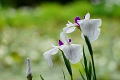 (nobuflickr) Tags: nature japan kyoto   irisensata  japanesewateriris awesomeblossoms   kajuujitemple 20160605dsc01725
