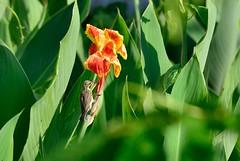In the afternoon sun (sanat_das) Tags: flower bird kolkata 28300mm canna sunbird d800 surveypark