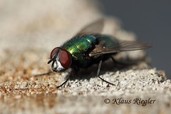 Die Fliege (Klaus R. aus O.) Tags: canon bein augen makro zaun holz insekt fliege mcke eiche flgel facetten 650d facettenaugen rsel