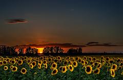_DSC3230 (jsanchezq65) Tags: sunset sky paisajes naturaleza field landscape landscapes spain paisaje sunflowers sunflower puestadesol girasol airelibre girasoles
