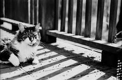 IMG_20160628_0032 (david_z_norton) Tags: pet film cat mackerel nikon tabby f100 delta100 stripey ilford