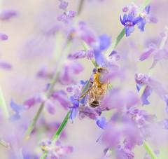 Foggy Times. (Omygodtom) Tags: wild macro fog bug insect outdoors nikon natural lavender bee exotic existinglight wildflower tamron tamron90mm d7100 macromonday elitebugs