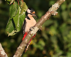 Pica-pau malhado grande // Dendrocopos major // Great spotted woodpecker (Jangada2011) Tags: greatspottedwoodpecker dendrocoposmajor picapaumalhadogrande
