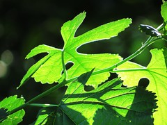 IMG_5340 (kennethkonica) Tags: life light summer usa color macro green nature america canon leaf stem midwest shadows bright random outdoor indianapolis magic indy indiana serenity serene pause moods global hoosiers canonpowershot marioncounty inthemoment