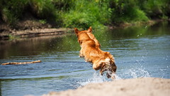 YEEAAAHHH !!! (malp007) Tags: hund dog action outdoor nsdtretriever toller apportieren wasser water