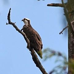 Osprey Perched below nest (Pat's Pics36) Tags: canada bc britishcolumbia perched stives osprey pandionhaliaetus shuswaplake nikond7000 nikkor18to200mmvrlens
