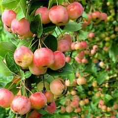 Zierapfel (blasjaz) Tags: plant fruit pflanze pflanzen frucht apfel frchte botanik malus blasjaz