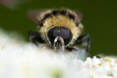 Volucella bombylans var plumata hoverfly head on (Ian Redding) Tags: uk nature yellow fauna insect fly eyes european feeding wildlife british mimic mimicry hoverfly invertebrate syrphidae arthropod diptera hogweed compoundeyes nectaring volucellabombylans plumata bumblebeemimic