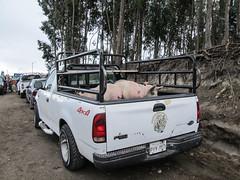 """Saquisili: ou comment mettre des cochons dans un pickup <a style=""""margin-left:10px; font-size:0.8em;"""" href=""""http://www.flickr.com/photos/127723101@N04/27443151995/"""" target=""""_blank"""">@flickr</a>"""