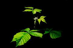 Into the Light (iratebadger) Tags: light plant black flower green nature leaves 35mm iso100 nikon focus shadows negativespace bud lightroom d7100 nikond7100 iratebadger