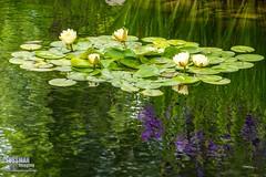 Gainesville Botanical Garden (The Suss-Man (Mike)) Tags: flowers flower reflection nature water georgia waterlily unitedstates gainesville botanicalgarden hallcounty thesussman sonyslta77 sussmanimaging gainesvillebotanicalgarden atlantabotanicalgardeningainesville