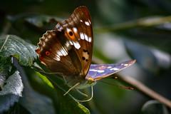 _F0A3482.jpg (Kico Lopez) Tags: rio spain galicia mariposas lugo mio apaturailia tornasolada