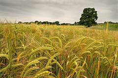 Barley crop (pentlandpirate) Tags: england barley cheshire farming cereal crop