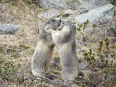DSC01866 (bleausard2) Tags: fight marmot murmeltier kampf marmotte mungg