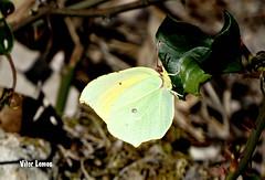 Amarelinha (verridrio) Tags: borboleta animal fauna natura naturaleza nature natureza planta flora inseto butterfly sony  papillon farfalla schmetterling mariposa   kelebek doa   natur  condeixa